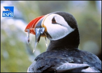 Puffin on Rathlin Island