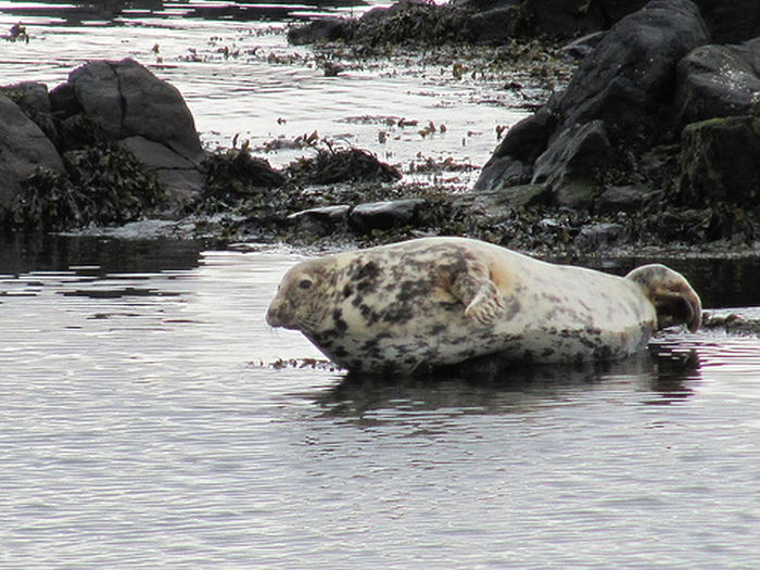 Seal at Ushet Port on Rathlin Island