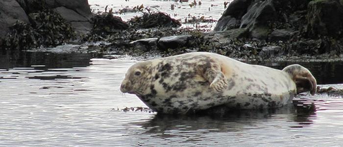 Seal at Ushet Port on Rathlin Island